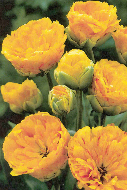 Tulp Sun Lover (Yellow Pompenette)