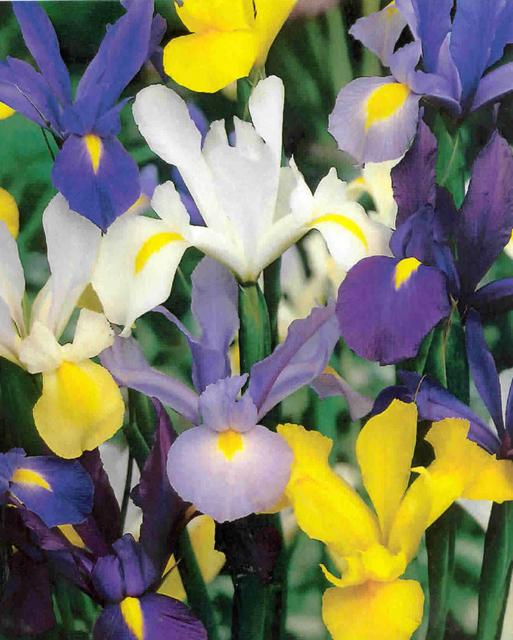 Irisbollen Hollandica Mix