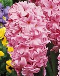 Hyacint Fondant