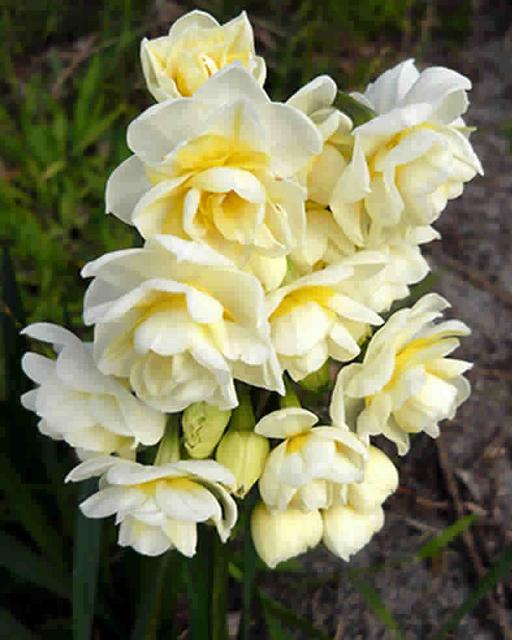 Narcis Erlicheer