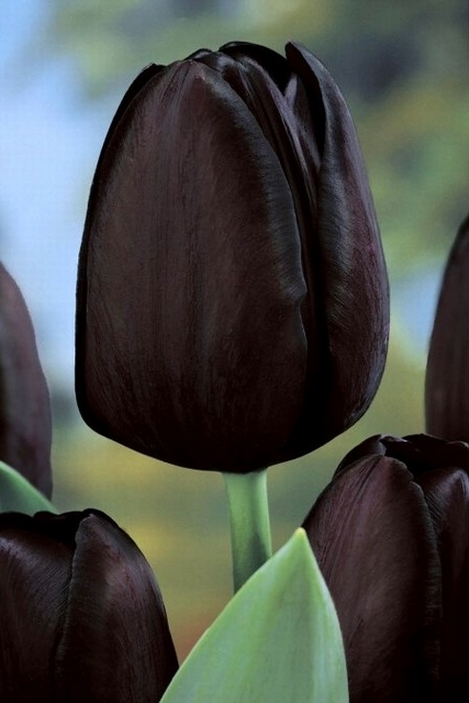 Tulp Queen of the Night