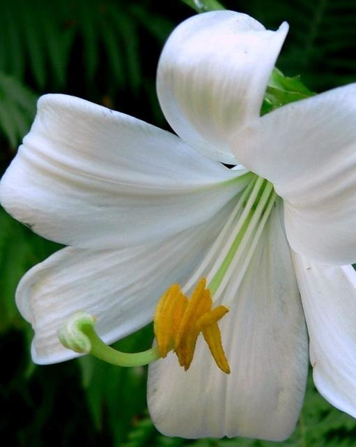 Madonna Lelie (Lilium Candidum)