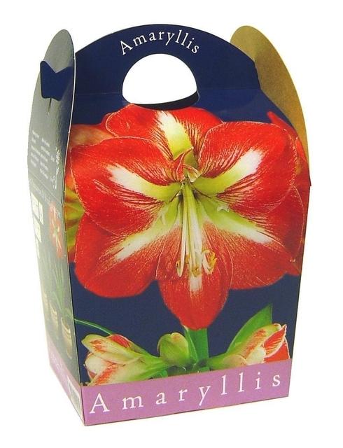 Amaryllis gestreept (Hippeastrum) Inclusief Pot