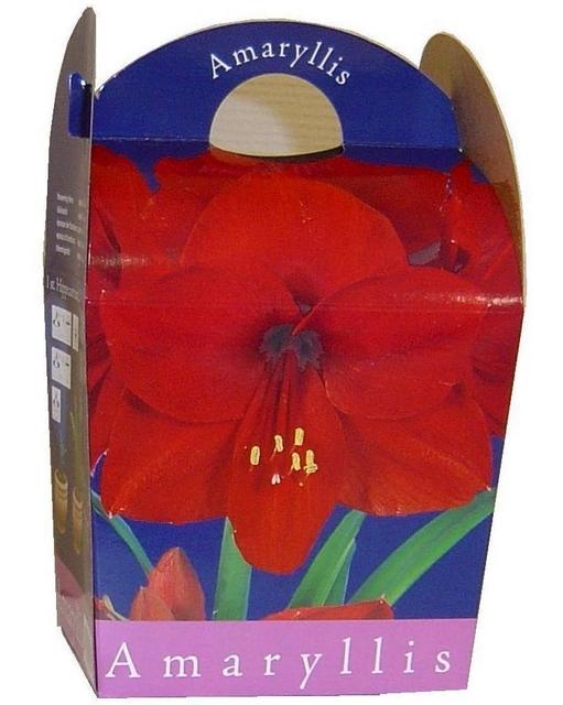 Amaryllis Rood (Hippeastrum) Inclusief Pot
