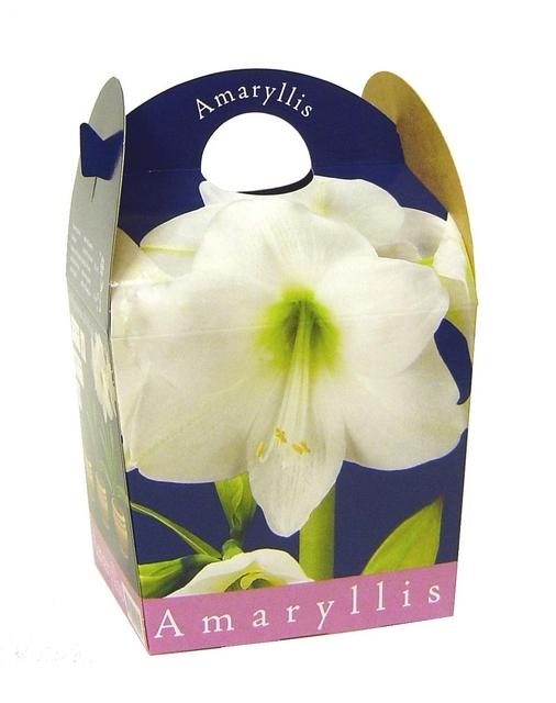 Amaryllis Wit (Hippeastrum) Inclusief Pot