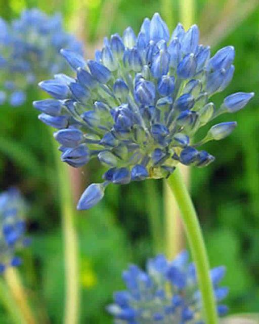 Allium Caeruleum - Blue-of-the-Heavens