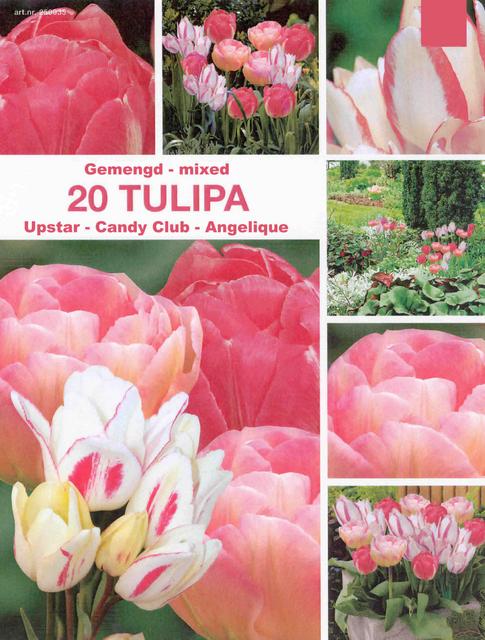 Tulp Roze Mix