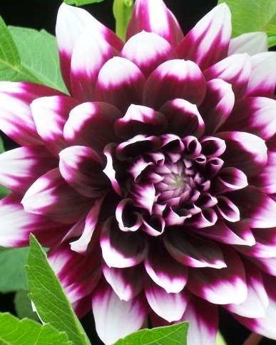 Dahlia Decoratief Mistery Day