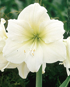 Amaryllis wit kopen online bestellen voor for Achat amaryllis