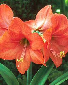 Amaryllis Oranje