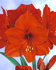 Amaryllis Rood (Hippeastrum)