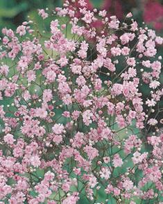 Gipskruid Rosea - Gypsophila