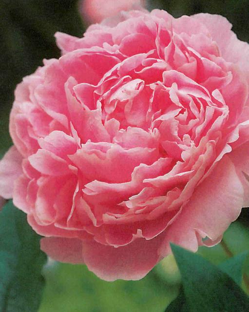 Pioenroos Sarah Bernhardt roze - Paeonia