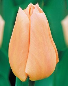 Tulp Apricot Beauty