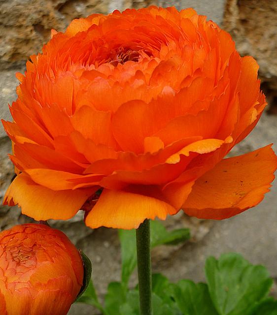 Ranonkel Oranje - Dubbel Oranje