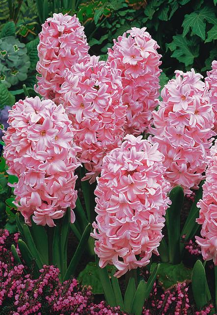 Hyacinten Fondant (Grootverpakking)