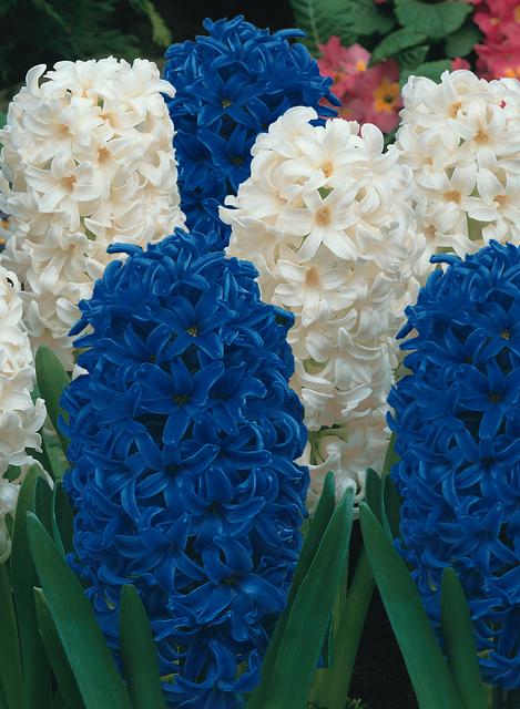 Hyacint Wit & Hyacint Blauw