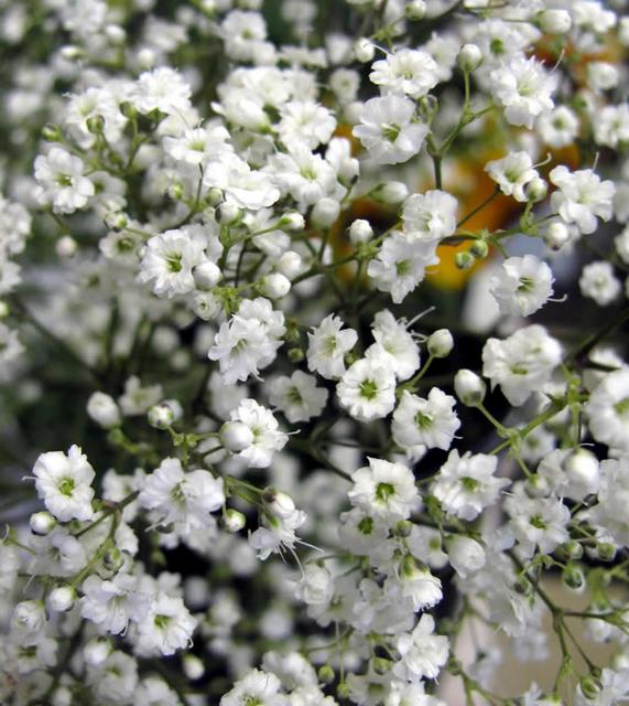 Gypsophila Paniculata - Gipskruid