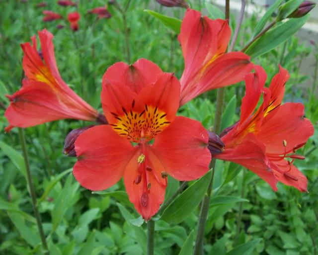 Alstroemeria Rood