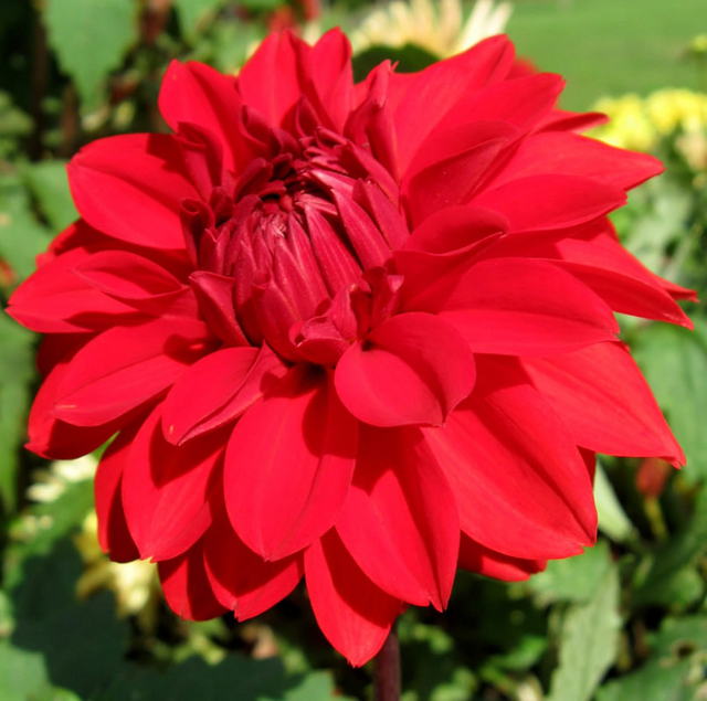 Dahlia Decoratief Garden Wonder