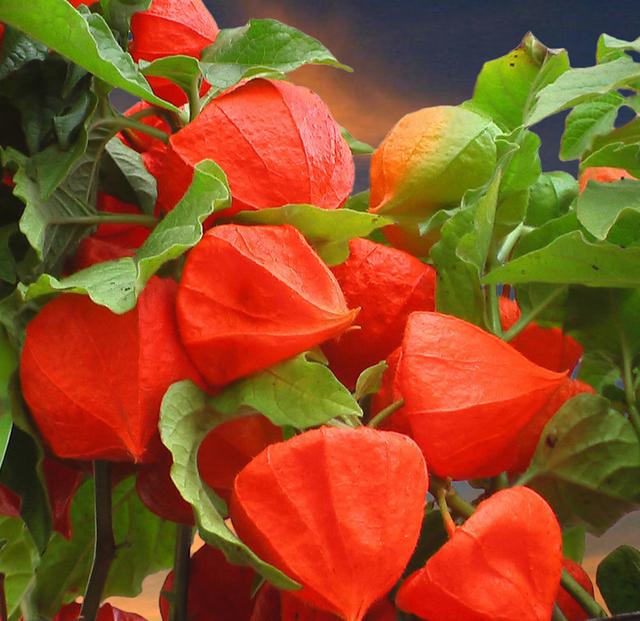 Home » Zomerbollen » Physalisplanten » Lampionplant: https://www.bloembollenkopen.nl/physalis/physalis-franchetti.html