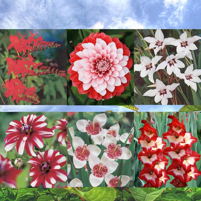 Bloembollen vierkante meter rood en wit