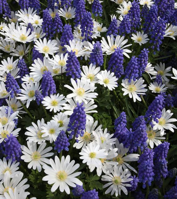 Voorjaarsbloeiers Collectie Blauw & Wit