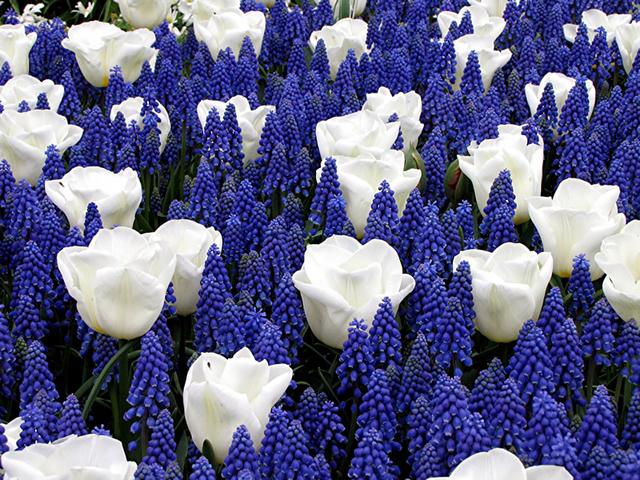 Voorjaarsbloeiers Mix Blauw & Wit
