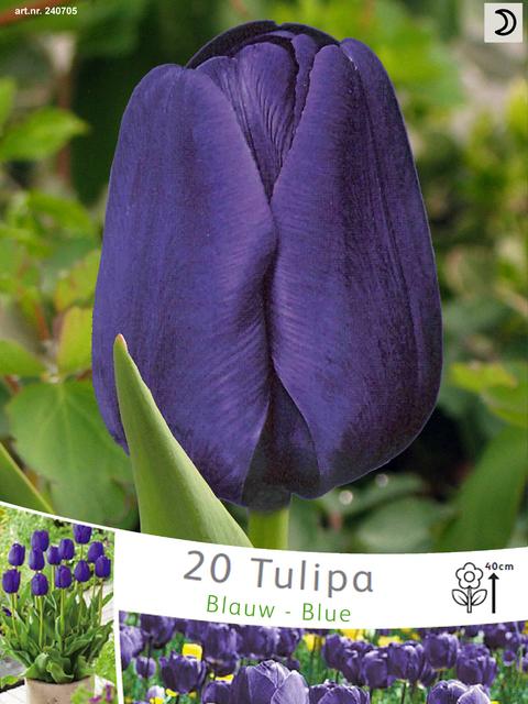Tulp Negrita (Voordeelpakket)