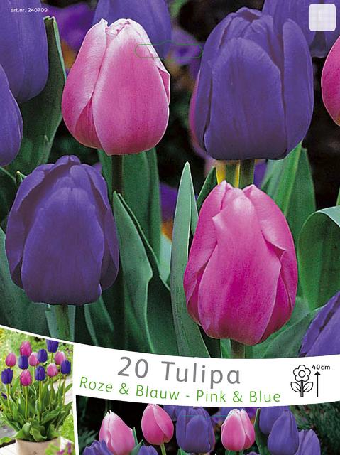 Tulp Triumph Roze & Blauw