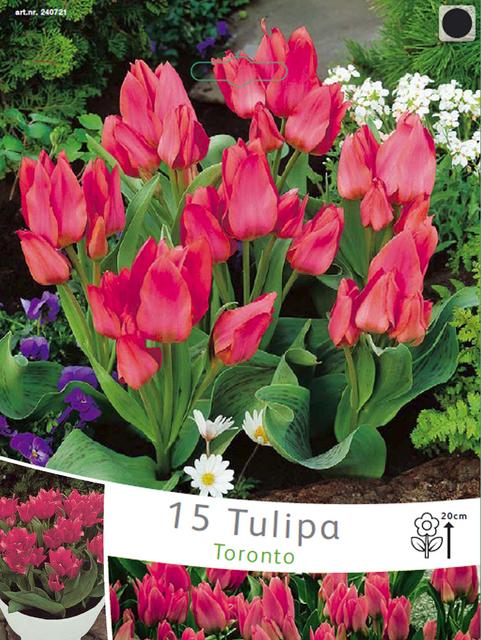 Tulp Toronto (Voordeelpakket)
