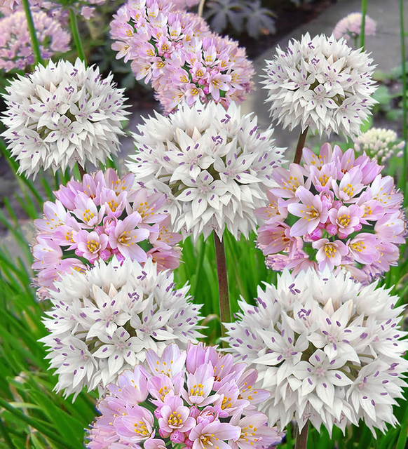 Alliums Roseum & Amplectens Mix