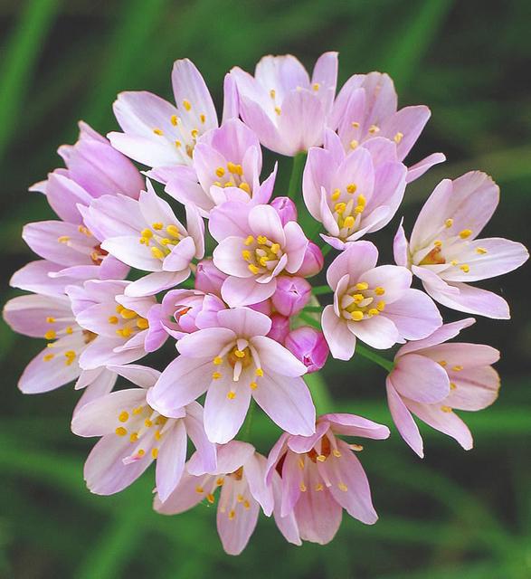 Allium Roseum