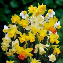 Narcissen Botanisch Mix (Grootverpakking)