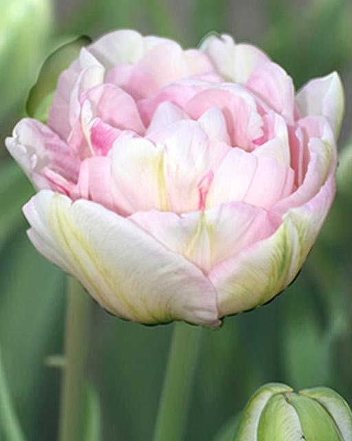 Tulp Angelique (Voordeelpakket)