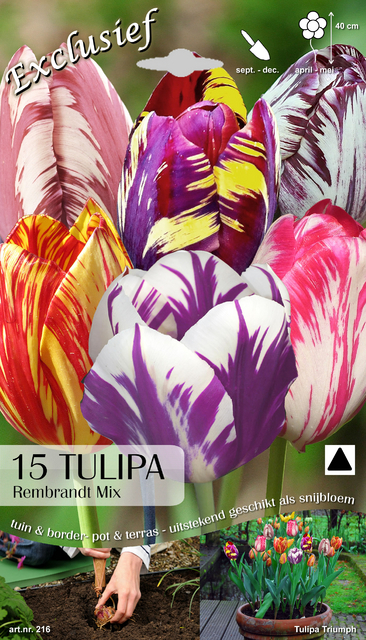 Tulp Rembrandt Mix (Kameleon)