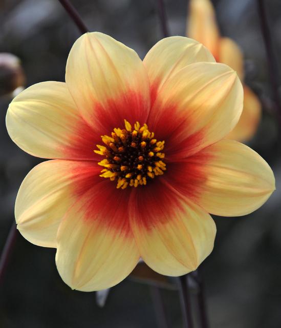 Dahlia Mignon Sunshine