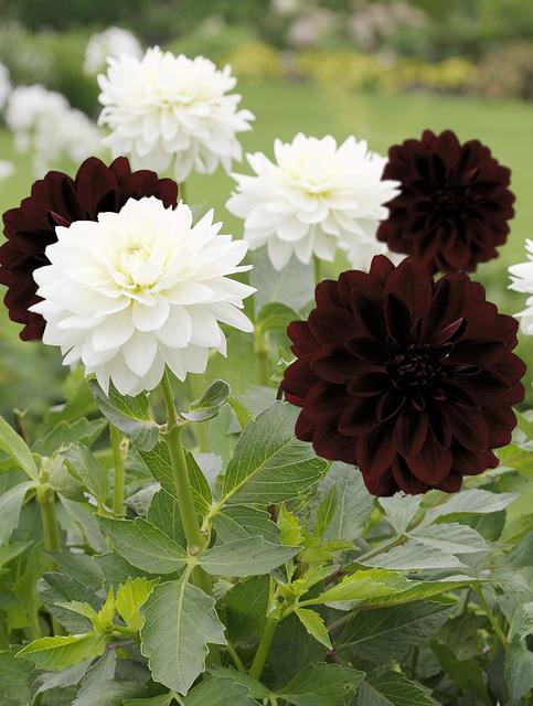 dahlia decoratief zwart wit kopen online bestellen voor. Black Bedroom Furniture Sets. Home Design Ideas
