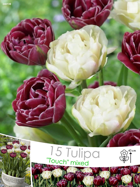 Tulp Mix Dream Touch & Global Desire
