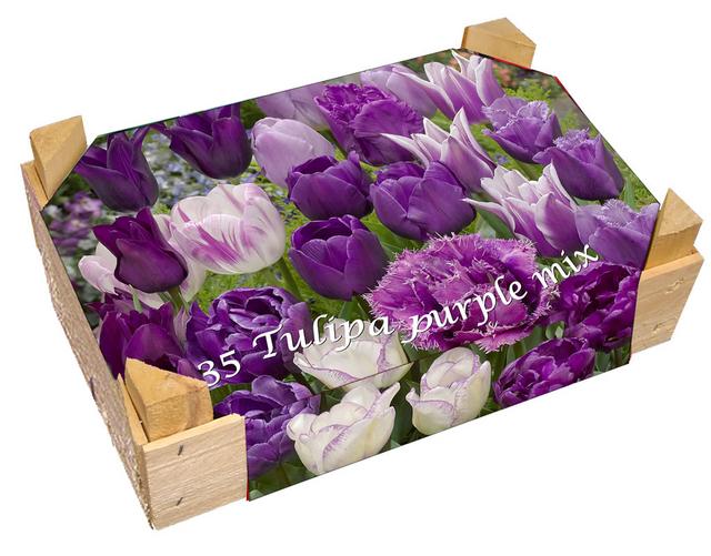 Kistje Tulpen Paars Gemengd