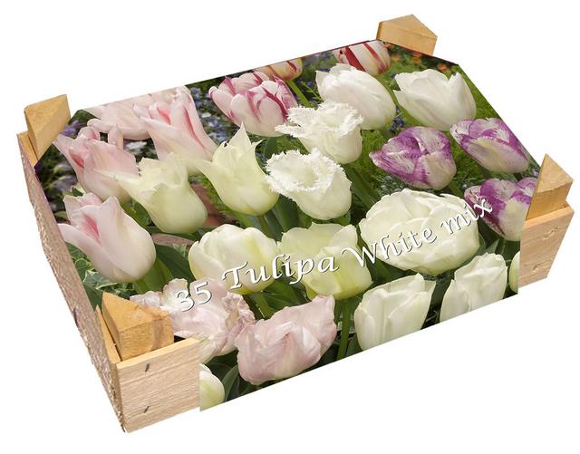 Kistje Tulpen Wit Gemengd