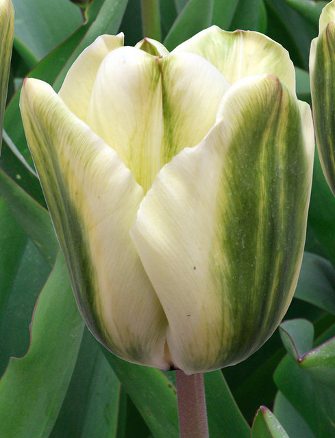 Tulp Spirit Green