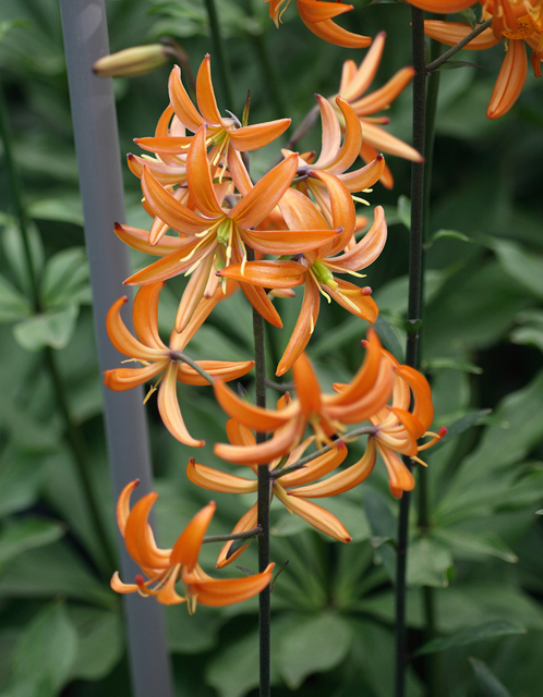 Turkse Lelie Orange Marmelade (Lilium Martagon)