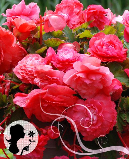 Begonia Odorata Geurend Roze