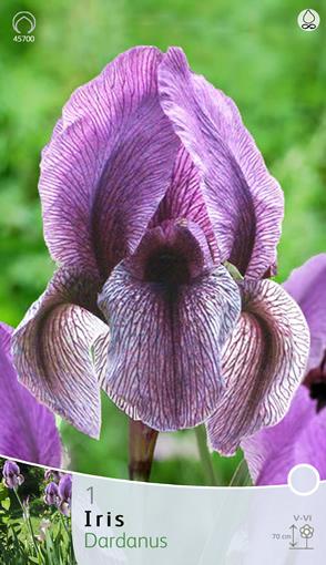 Iris Regelio cyclus 'Dardanus'