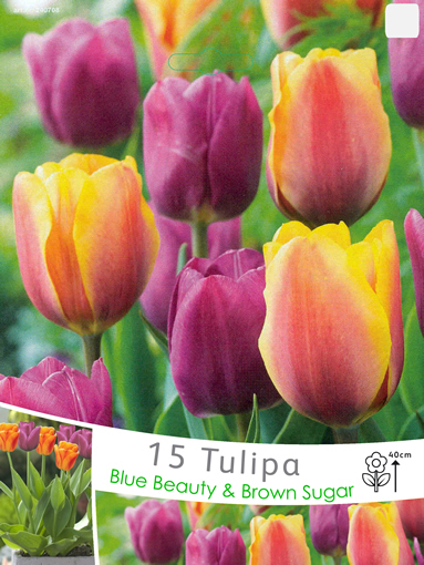 Tulp Mix Blue Beauty & Brown Sugar