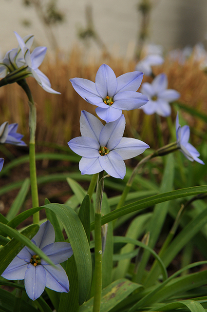 Ipheion Uniflorum 'Wisley Blue'