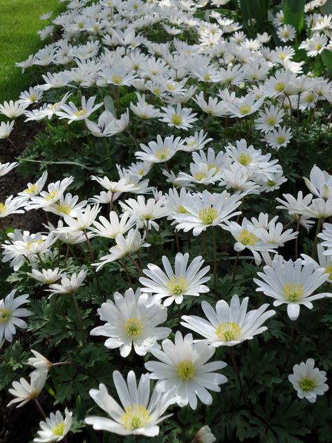 Anemoon Blanda White Splendour