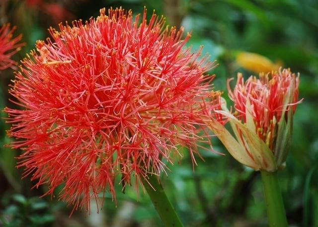 Scadoxus multiflorus - Poederkwast