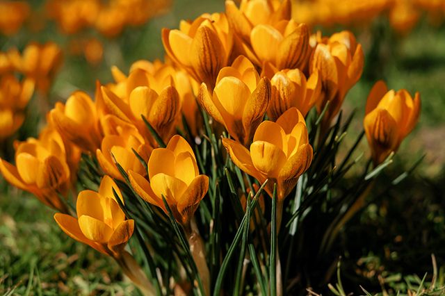 Krocus Orange Monarch
